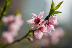 Peach flowers. Peach tree blossoms in spring royalty free stock image