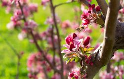 Peach tree blossoms in spring stock images