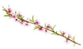 Peach tree branch Royalty Free Stock Photo