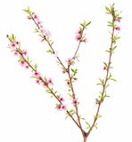 Peach tree branch Royalty Free Stock Images