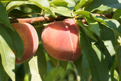 Peach on a tree branch, harvest. Peach on a green tree branch, harvest Stock Images