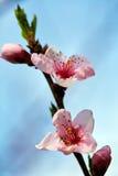 Peach tree branch with pink flowers on springtime Stock Photos