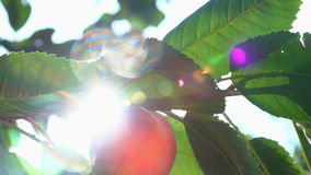 Peach on a tree branch in the sun stock video footage