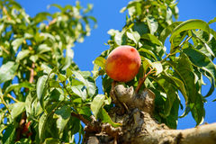 Peach  on the tree branches, blue sky. Background Royalty Free Stock Images
