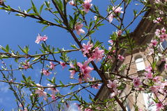Peach tree branches in full bloom near house Stock Images