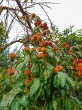 Peach tree. Closeup of a peach tree brunch with ripe fruits. Prunus persica Stock Photography