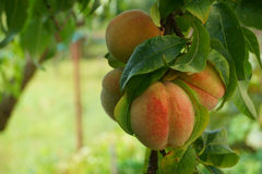 peach tree detail Royalty Free Stock Images