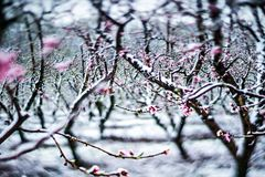 Peach tree farm during spring snow with blossoms Royalty Free Stock Images