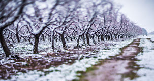 Peach tree farm during spring snow with blossoms Royalty Free Stock Photo