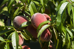 Peach on tree. Few peach on the tree Stock Images