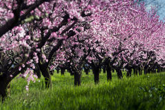 Peach tree. A field of peach tree in flower Stock Image