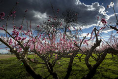 Peach tree. A field of peach tree in flower Stock Photo