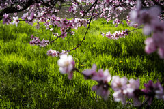 Peach tree. A field of peach tree in flower Royalty Free Stock Photography