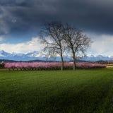 Peach tree. A field of peach tree in flower Stock Image