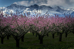 Peach tree. A field of peach tree in flower Royalty Free Stock Photo