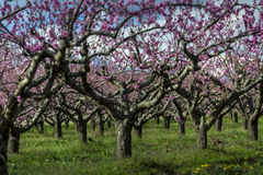 Peach tree Royalty Free Stock Photography
