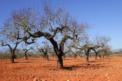 Peach tree field in red soil Royalty Free Stock Photography