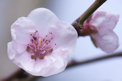 Peach tree flower Royalty Free Stock Photography