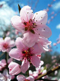 Peach-tree flowers. Delightfully beautiful pink peach tree flowers Royalty Free Stock Image