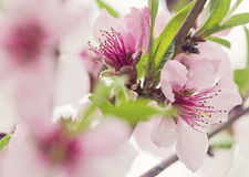 Free Peach Tree Flowers Royalty Free Stock Images - 41459899