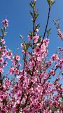 Peach tree flowers bloom on blue sky background stock photography