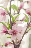 Peach tree flowers Royalty Free Stock Photography