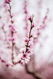 Peach tree flowers Stock Photos