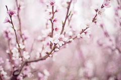 Peach tree flowers Stock Image