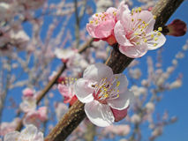 Peach tree flowers. Peach tree flowering with the blue sky Royalty Free Stock Images