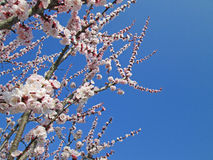 Peach tree flowers. Flowering peach tree with the clear blue sky Royalty Free Stock Image