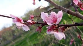 Peach tree flowers stock photos