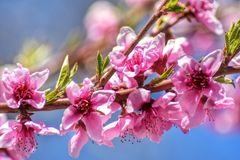 Peach tree flowers stock photo