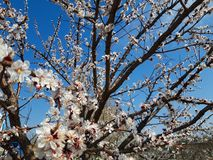 Peach tree flowers on spring stock photography