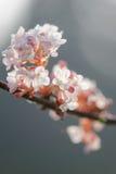 Peach tree flowers Stock Image