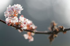 Peach tree flowers Royalty Free Stock Images