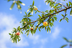 Peach on tree in forest Stock Image