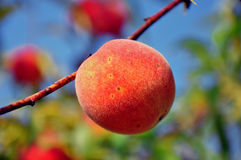 Peach on a tree Stock Photography