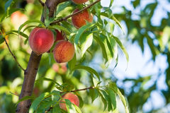 Peach tree fruits Royalty Free Stock Images