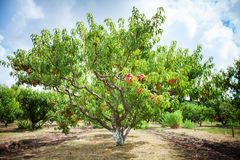 Peach tree with fruits growing in the garden. Peach orchard. Harvest royalty free stock image