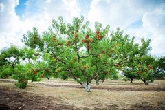 Peach tree with fruits growing in the garden. Peach orchard. Harvest stock image