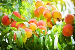 Peach tree with fruits growing in the garden. Peach orchard. Harvest stock photos