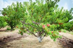 Peach tree with fruits growing in the garden. Peach orchard. Harvest royalty free stock images