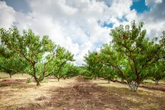 Peach tree with fruits growing in the garden. Peach orchard. Harvest royalty free stock photos