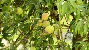 Peach-tree with fruits. Peach-tree with ripe fruits stock video