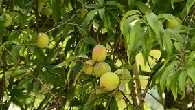 Peach-tree with fruits. Peach-tree with ripe fruits stock video footage