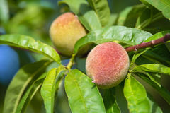 Peach tree fruits ripening Royalty Free Stock Photos