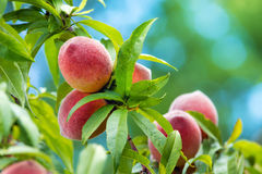 Peach tree fruits Stock Photos