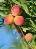Peach tree fruits Royalty Free Stock Photo