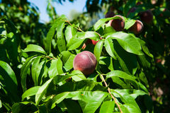 Peach tree in the garden Royalty Free Stock Photo