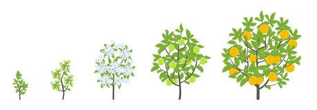 Peach tree growth stages. Vector illustration. Ripening period progression. Fruit tree life cycle animation plant seedling. Peach. Peach tree growth stages stock illustration